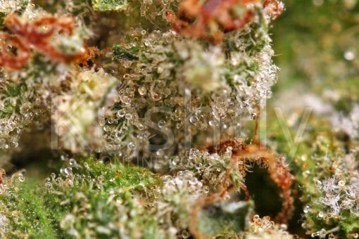 True OG Cannabis Strain