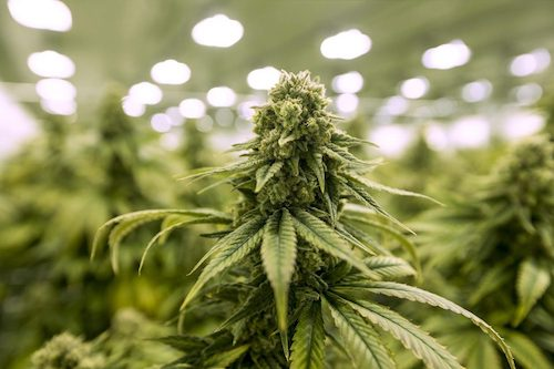Studies Show Marijuana May Be Useful in Treating The Side Effects of Cancer