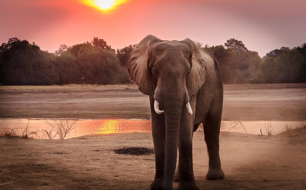 CBD For Elephants?