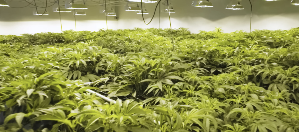 What is Hydroponic Weed?