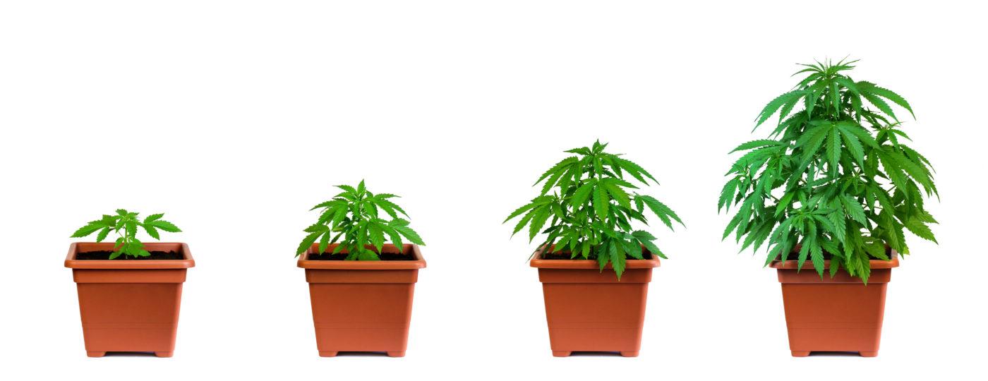 The Flowering Stage of Cannabis Week By Week